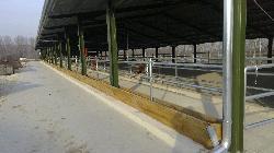Szarvasmarha üszőistálló, növendékistálló, tejelő marhaistálló