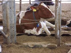 340 férőhelyes pihenőboxos tejelőmarhaistálló, etetőasztallal