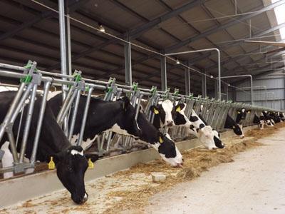 Celldömölk - 344 férőhelyes tejelő pihenőboxos termelőistálló